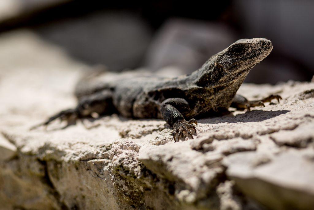Iguana at Maya Tulum Spa and Resort